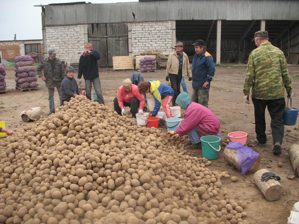 У того картошка родится, кто работать не ленится