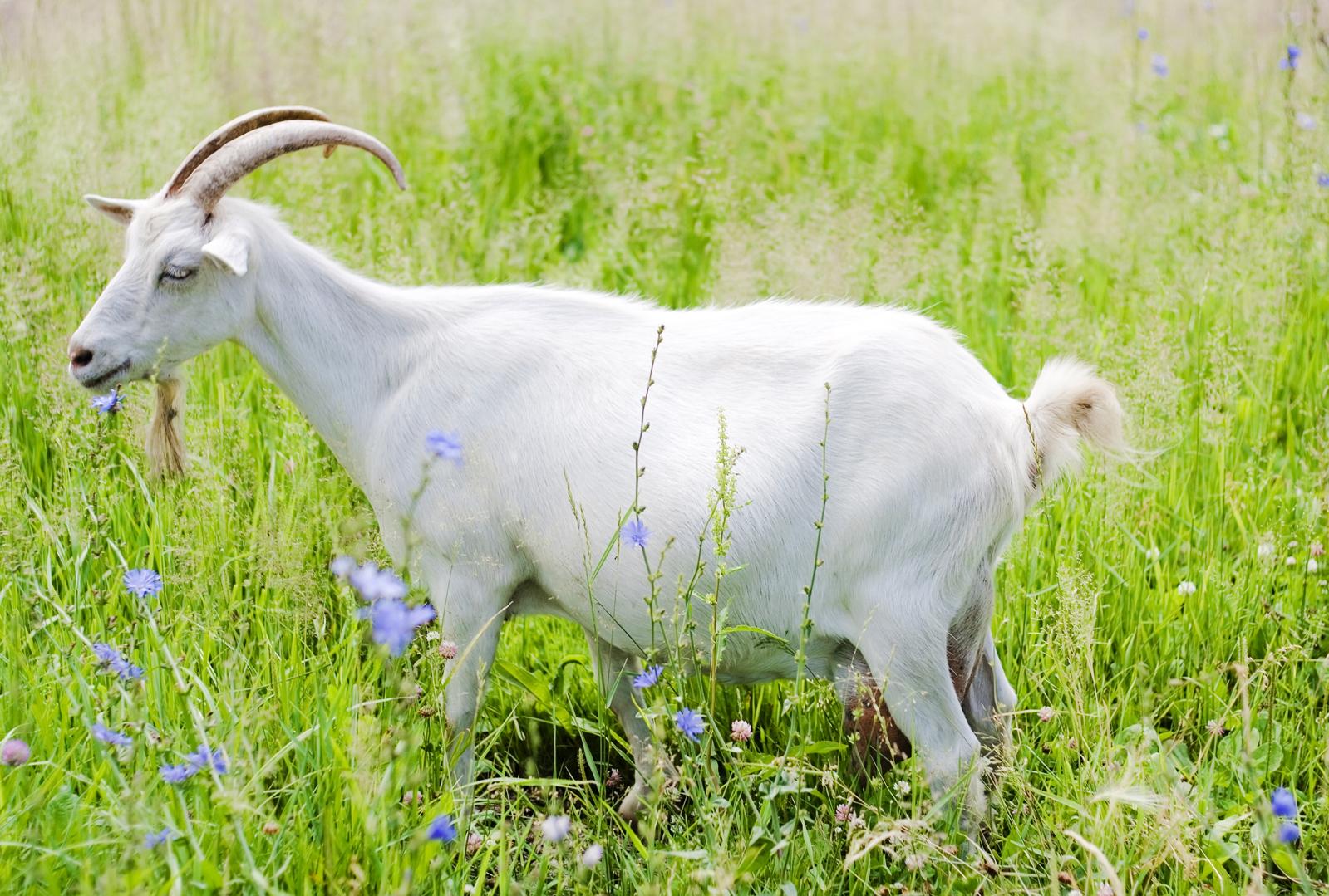 В Полоцком районе прямо из находящегося возле дома сарая украли козу