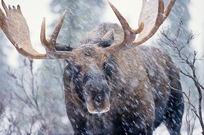 Убитый лось разделывался браконьерами прямо возле трассы